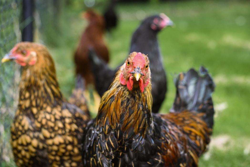 Cara Daftar Judi Sabung Ayam di s128