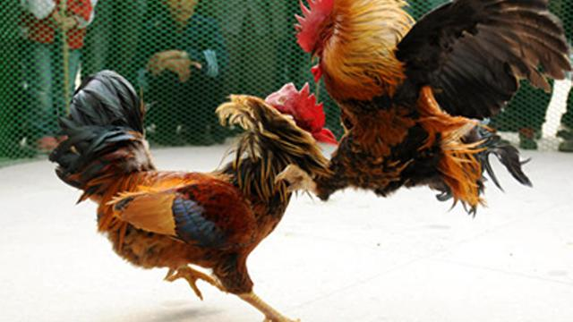 Tips Untuk Memilih Situs Judi Sabung Ayam Yang Aman